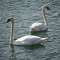 Two Swans A Swimming by Brook Steed