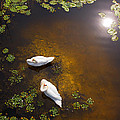 Two Swans With Sun Reflection On Shallow Water by Jan Brons