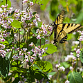 Two Tailed Swallowtail by Fran Riley