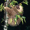 Two-toed Sloth Choloepus Didactylus by Anthony Mercieca