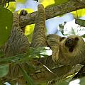 Two-toed Sloth Relaxing With A Grin by Brian Kamprath