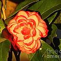 Two-tone Camellia by Lew Davis
