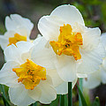 Two-toned Daffodils by Bill Pevlor