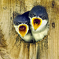 Two Tree Swallow Chicks by Christina Rollo