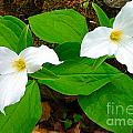 Two Trillium by Nina Silver