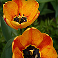 Two Tulips by Denyse Duhaime