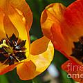 Two Tulips by Elena Elisseeva