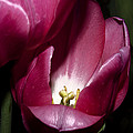 Two Tulips Touching by Camille Lopez