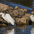 Two White Herons And A Coot by Kathleen Bishop