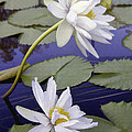 Two White Lilies by Sharon Foster