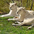 Two White Lions by Les Palenik