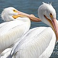 Two White Pelicans by Carol Groenen