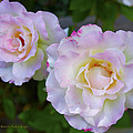 Two White Roses Border by Floyd Snyder