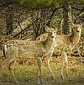 Two White Tailed Deer by LeeAnn McLaneGoetz McLaneGoetzStudioLLCcom