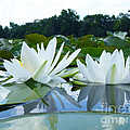 Two White Waterlilies by Catherine Lottes