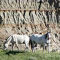 Two Wild White Stallions by Sabrina L Ryan