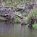 Two Working Beavers by Belinda Greb