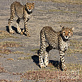 Two Young Cheetahs by Chris Scroggins