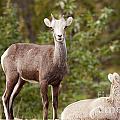 Two Young Stone Sheep Ovis Dalli Stonei Watching by Stephan Pietzko
