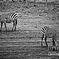 Two Zebras Eating. Tanzania by Michal Bednarek