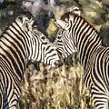 Two Zebras Equus Quagga Nuzzlling by Liz Leyden