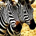 Two Zebras by Marc Levine