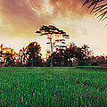 Ubud Rice Fields by Rod McLean
