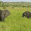 Ugandan Elephants by Brian Kamprath
