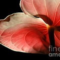 Anthurium  by Mike Nellums
