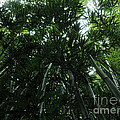 Under The Bamboo Haleakala National Park  by Vivian Christopher