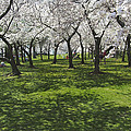 Under The Cherry Blossoms - Washington Dc. by Mike McGlothlen