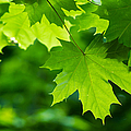 Under The Maple Leaves - Featured 2 by Alexander Senin