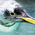 Underwater Penguin by Pam  Holdsworth