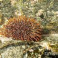 Underwater Shot Of Sea Urchin On Submerged Rocks by Stephan Pietzko