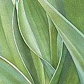 Unfolding Tulip Leaves by Sandy Haight