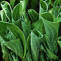 Unfurling Of The Hosta by Sandi OReilly