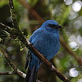Unicolored Jay by Bruce J Robinson