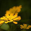 Unidentified Yellow Flower by  Onyonet  Photo Studios