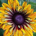 Unique Sunflower by Christiane Schulze Art And Photography