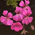 Pink Geranium Flower by Linda Brody