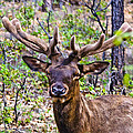 Up Close And Personal With An Elk by Bob and Nadine Johnston