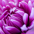 Up-close Flower Power Pink Mum  by Michael Moriarty