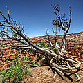 Uprooted - Bryce Canyon by Tammy Wetzel