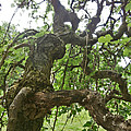 Upside Down Mulberry by Gordon Wendling