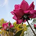 Upward Roses by MTBobbins Photography