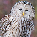 Ural Owl by Chris Smith