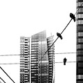 Urban Pigeons On Wires by Peter v Quenter