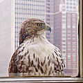 Urban Red-tailed Hawk by Rona Black