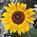 Urban Sunflower by Jean Goodwin Brooks
