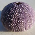 Urchin by FL collection